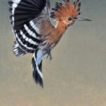 "FC3 ""Hoopoe in Flight"" Oil on canvas 45cm x 45cm"