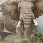 "FC6 Mock Charge"" Elephant Oil on canvas 70cm x 60cm"