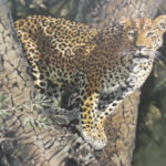 S2877 Leopard Oil on Canvas 90cm x 120cm