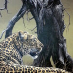 S3508 Ingwe - Leopard Oil on Canvas Fuz Caforio 70cm x 60cm