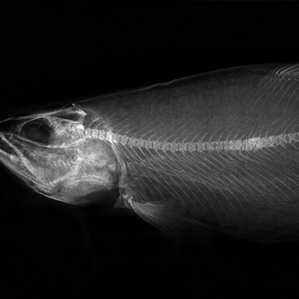 Inline fish and fish fillet inspection; dual energy at 30m/min @100um resolution. Separation of bones from soft tissue/meat
