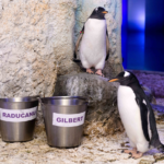 ENGLAND'S ONLY GENTOO PENGUIN CHICKS NAMED AFTER TWO OF THE NATION'S MOST INSPIRATIONAL WOMEN:  EMMA RADUCANU AND PROFESSOR DAME SARAH GILBERT