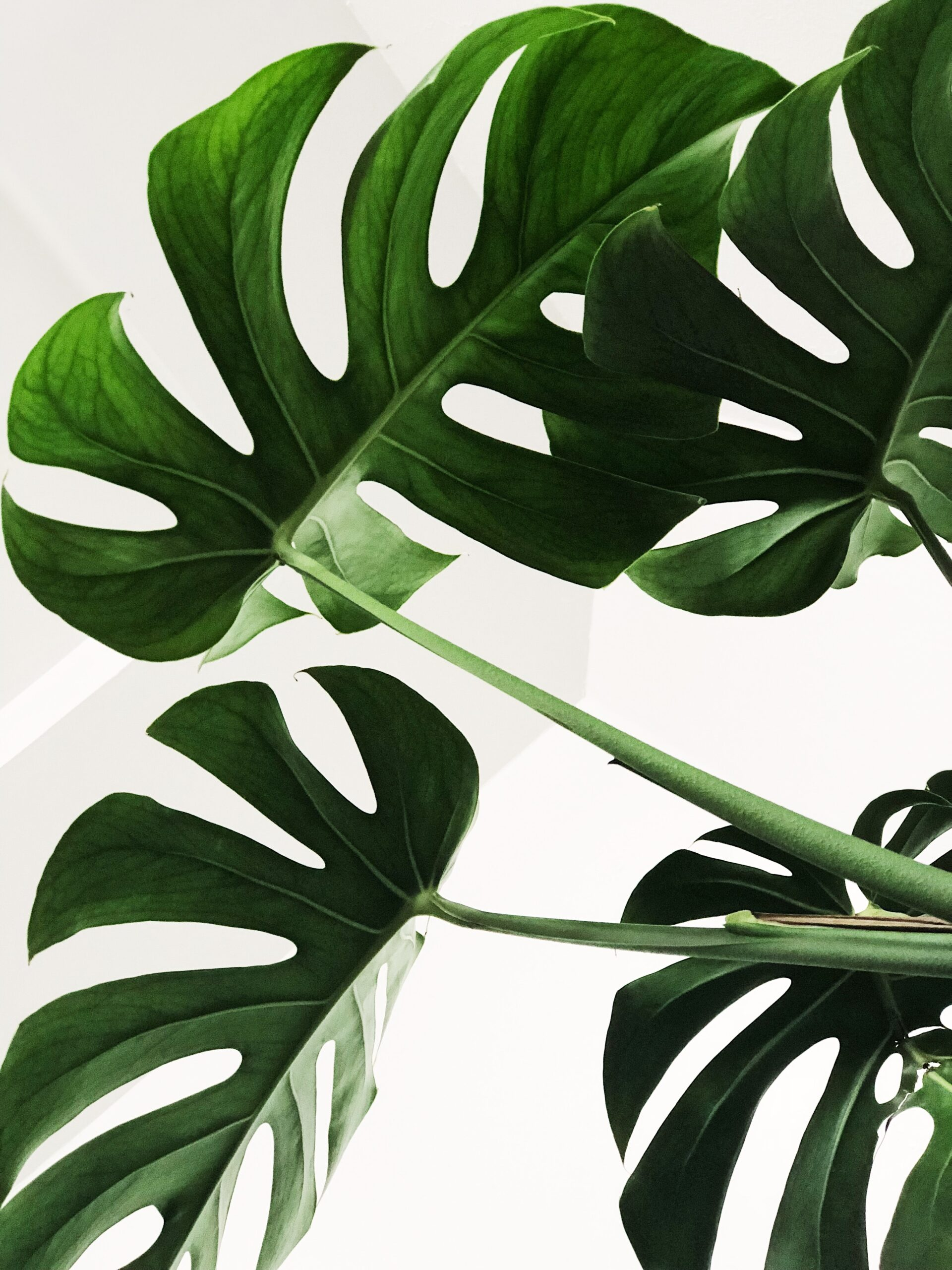 Monstera leaves - Rachel Writes about website page