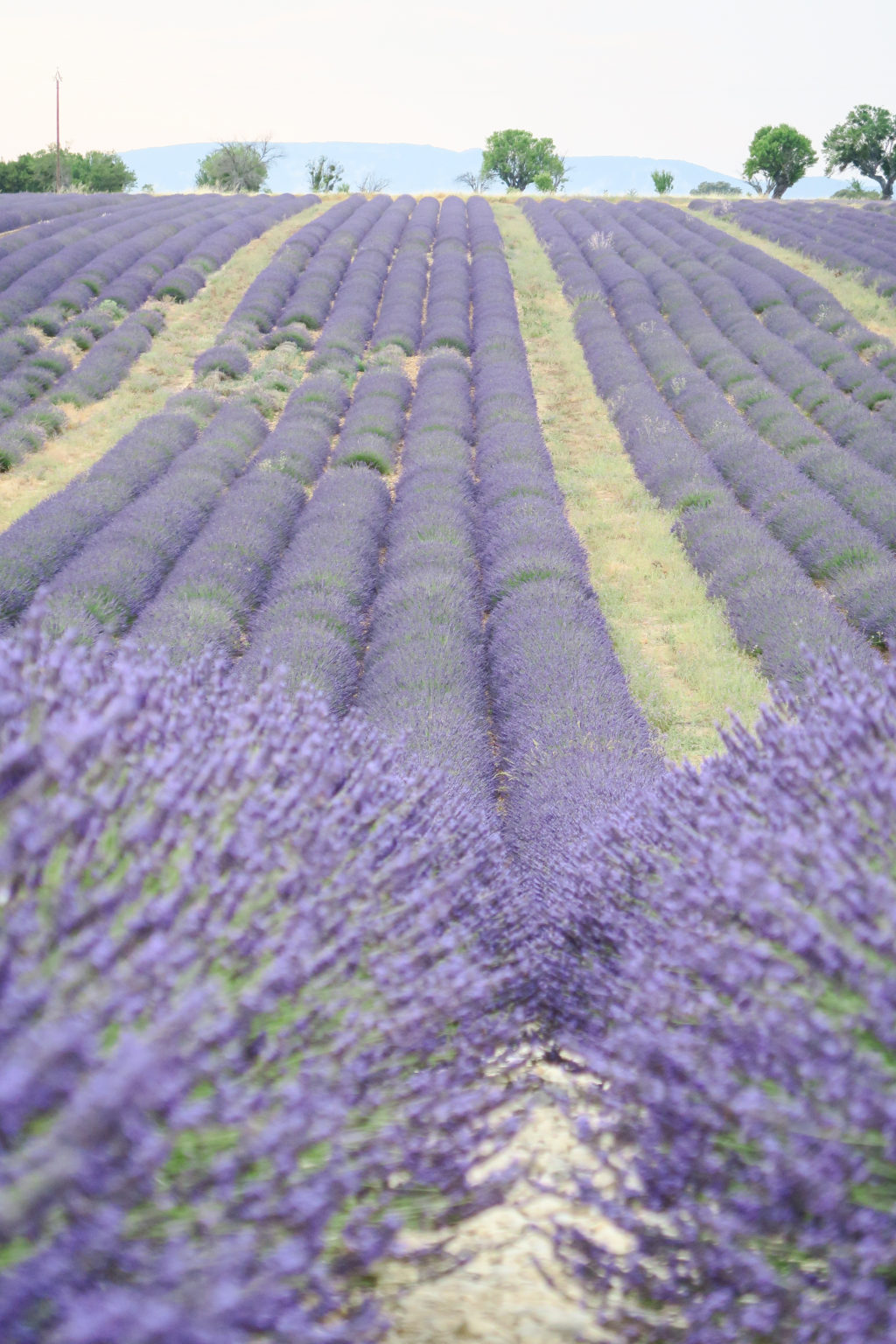 Provence Lavender Fields, Travel Diary by Rosie Andre (south of france, europe, wanderlust, travel, blog, see the world, globe trotter, photographs, honeymoon, holiday, vacation, summer, bucketlist)