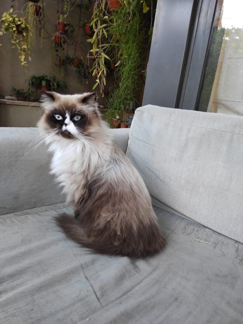 צחיק החתול - חתול מגזע בירמן ברחוב החשמונאים - בר יוחאי רמת השרון