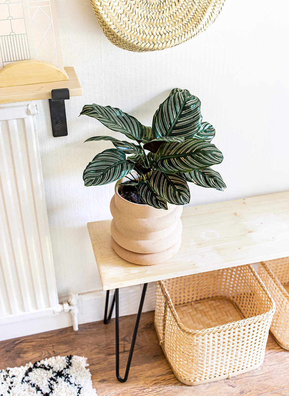 Pinstripe-Plant-Calathea-Ornata-Sanderiana-scandens-kelseyinlondon-homewithkelsey-plant-guide-best-indoor-plants