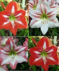 Amaryllis Dutch flower bulbs