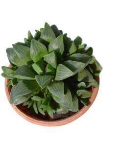 Haworthia Retusa clump