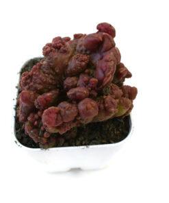 Echinopsis cv. Chocolate