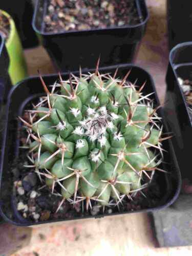 Mammillaria compressa Cactus plant photo review