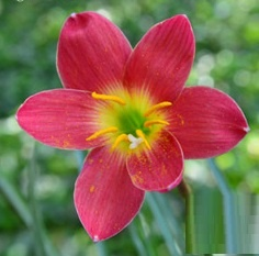 Rain Lily Scarlet O Hara
