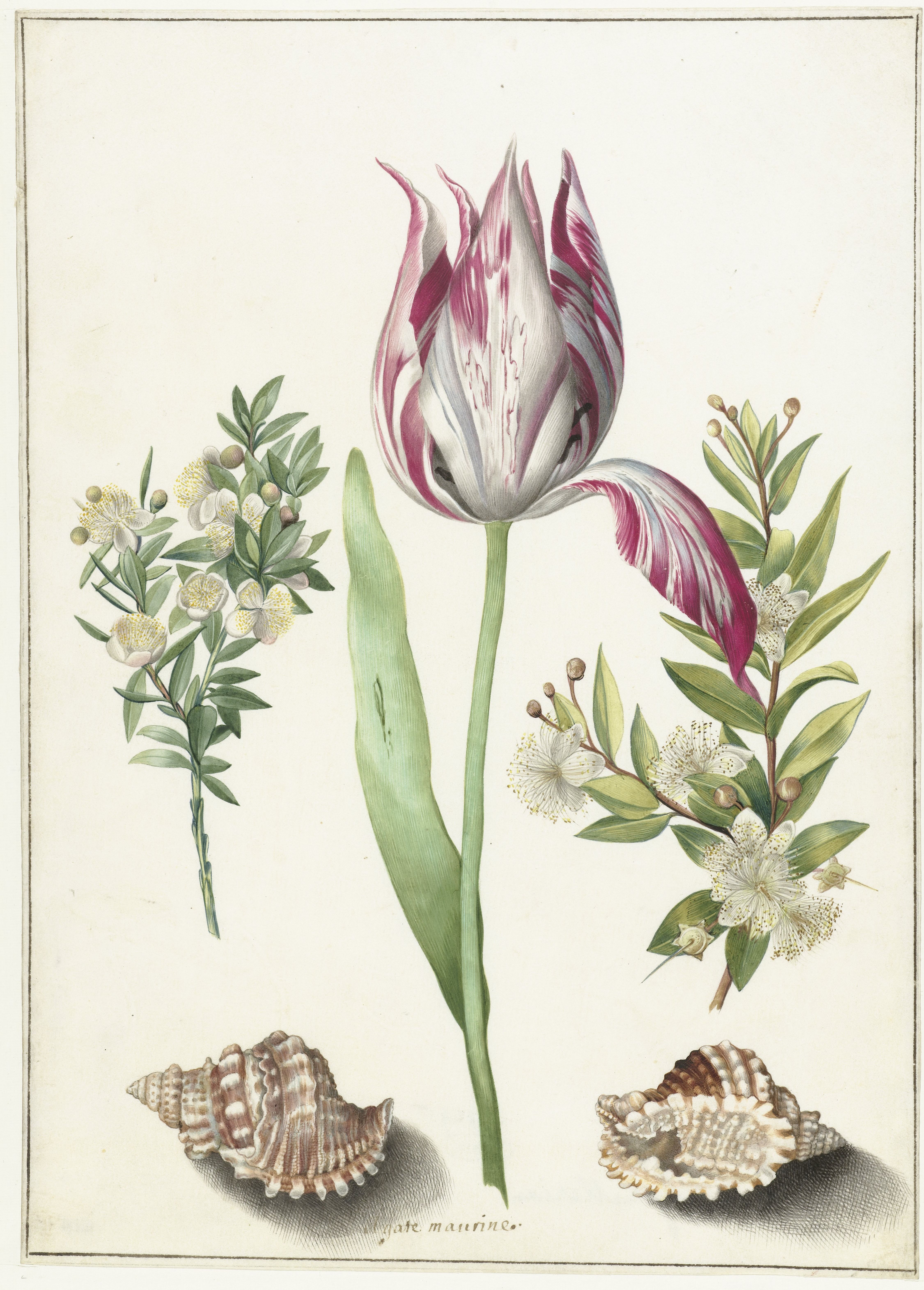 Tulip, two Branches of Myrtle and two Shells, Maria Sibylla Merian (attributed to) c. 1700. Rijksmuseum
