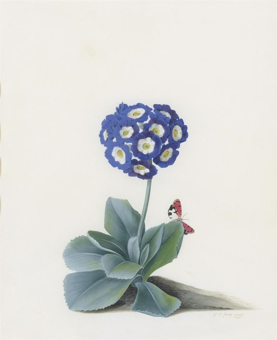 Georg Dionysius Ehret Auricula with butterfly