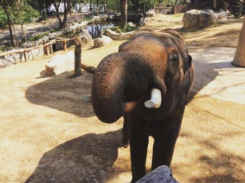 Wanderlustbee Chiang Mai, Thailand. Chiang Mai Zoo elephant