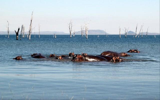 Hippos in Lake Kariba Zimbabwe