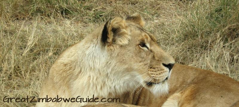 Lion - GreatZimbabweGuide.com