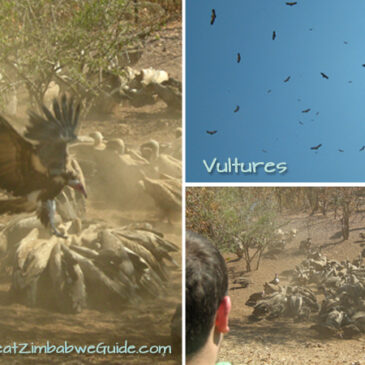 The roadtrip that roared: #7 Vultures at lunch, hippos at supper