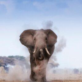 Billy Dodson Elephant