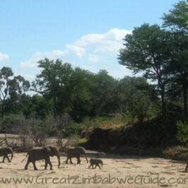 Mana Pools elephant crossing