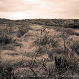 Domboshawa grass