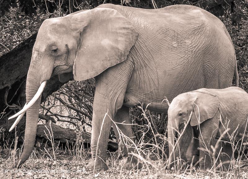 Mana Pools elephant (23)