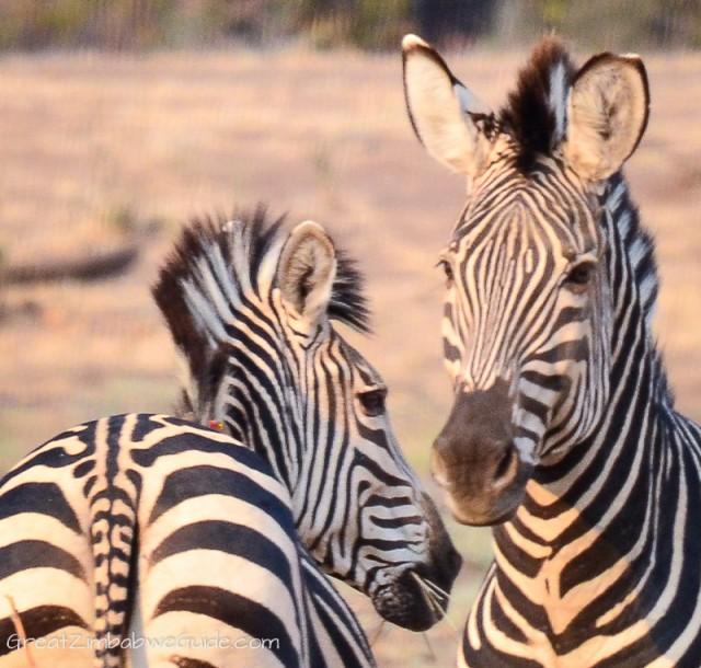 Mana Pools zebra (37)
