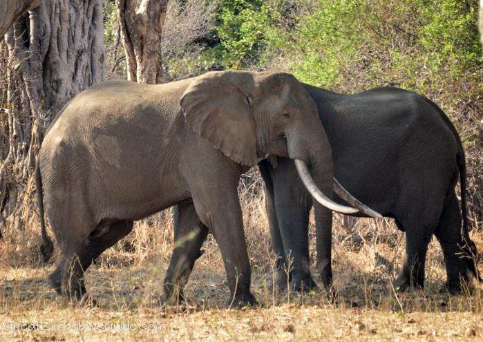 Mana Pools Zim large elephant