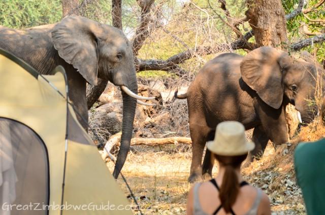Mana Pools elephant 3
