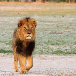 Cecil Lion Paula French