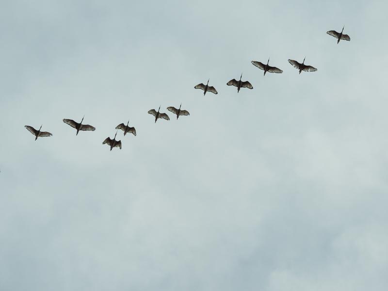 Ibis birds in flight