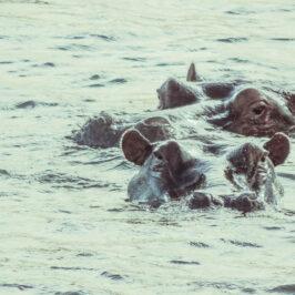 Hippo Zimbabwe