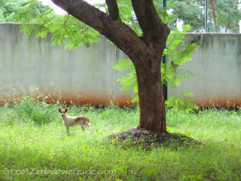Great Zimbabwe Guide 2008 Dog Stray