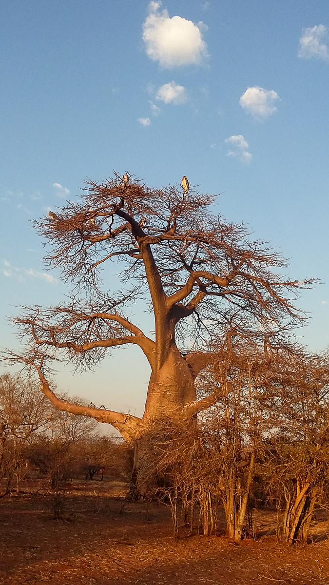 Big baobab tree Zimbabwe Africa