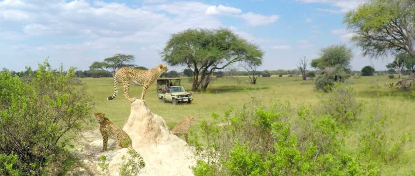 ZIMBABWE-TOURS-CHEETAH-THE-HIDE