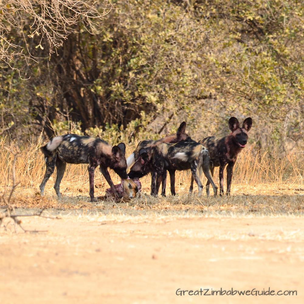Painted wolves dogs Zimbabwe (1)