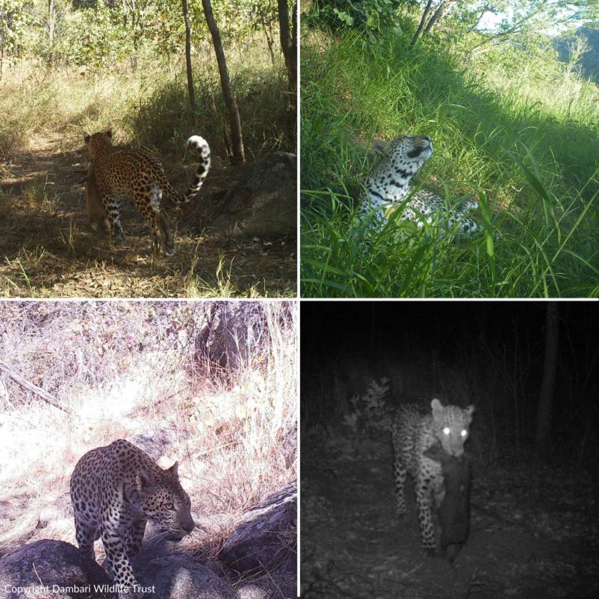 Dambari_Leopard_Zimbabwe