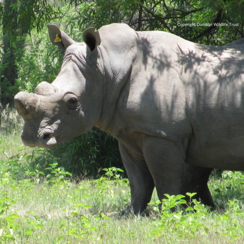 Dambari_Rhino_Zimbabwe