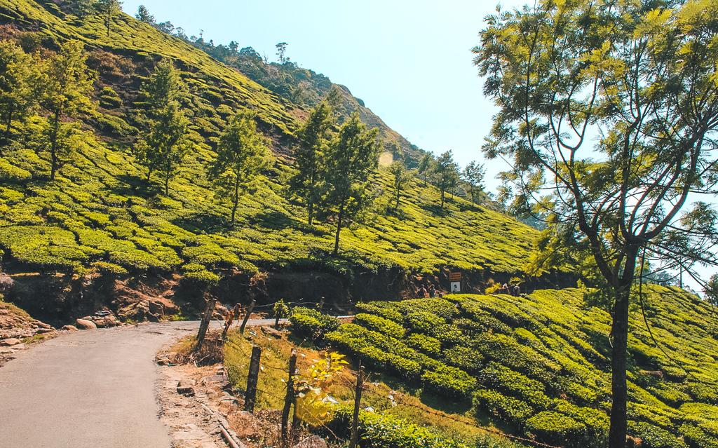 Munnar Tea Plantations in the Munnar Hills, Kerala