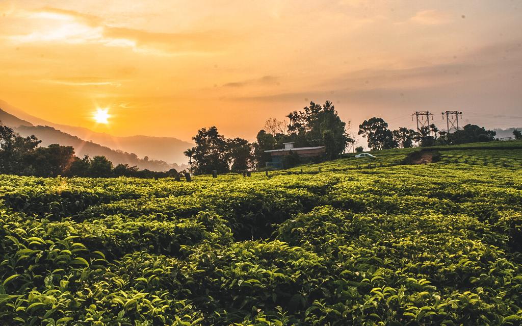 Munnar Sunrise Trek through the Tea Plantations in Munnar