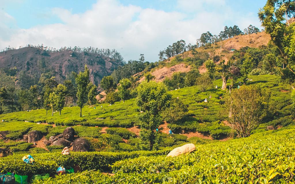 Munnar Tea Plantation and Factory Tour in the Munnar Hills