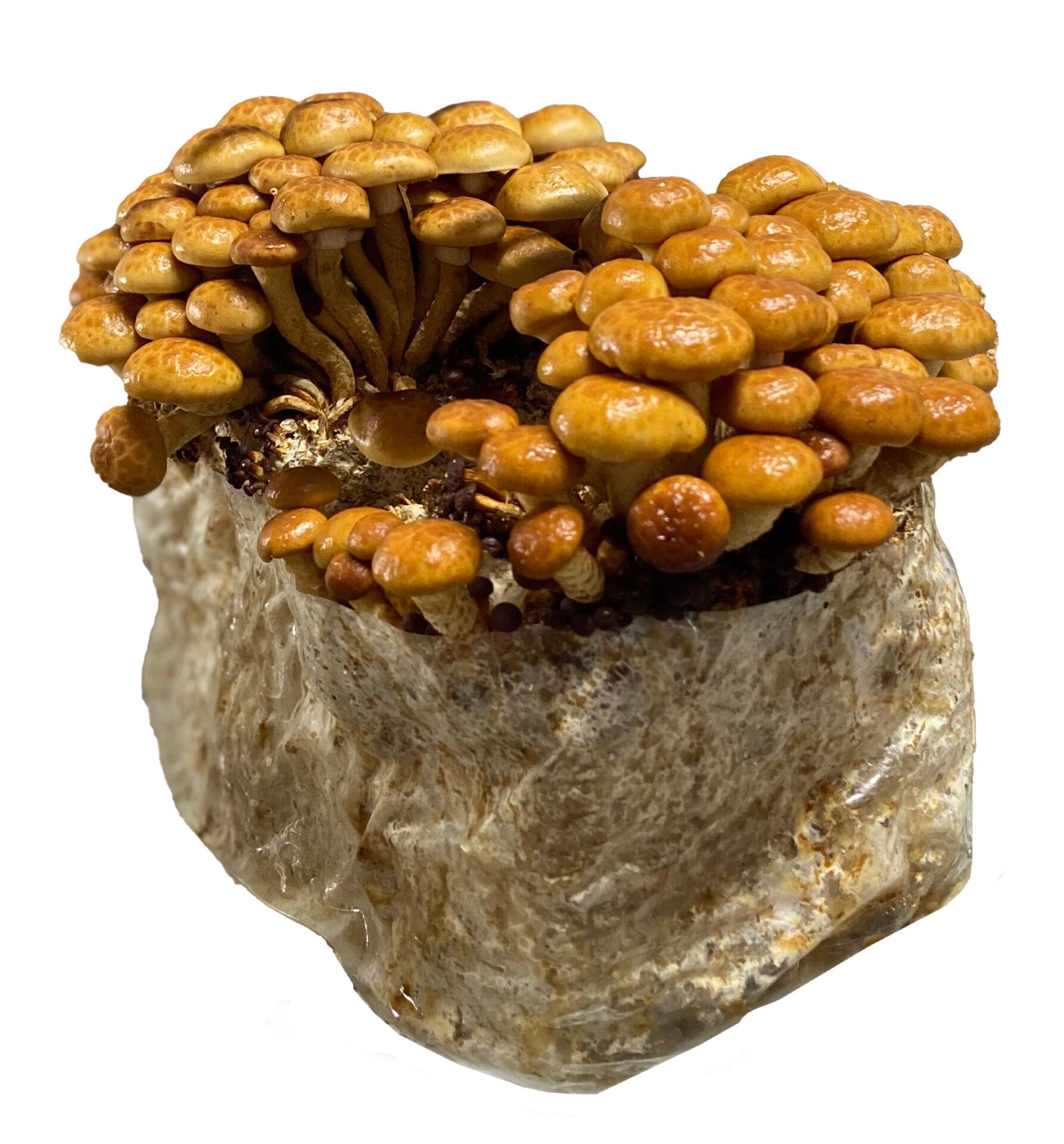 organic Nameko mushrooms