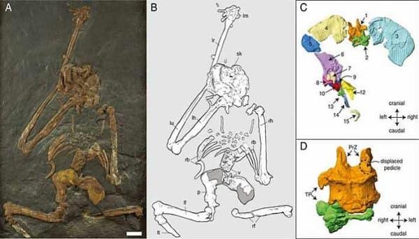 Oreopithecus bambolii primate