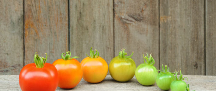 7 stages of development of a tomato
