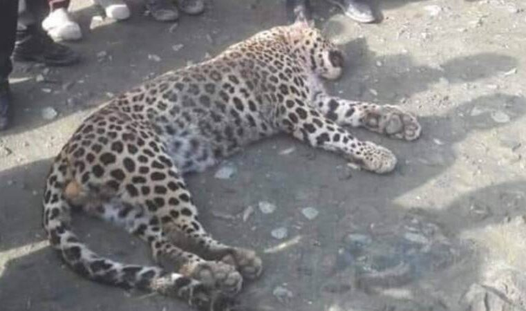 WATCH – Three men saving villager booked for killing a leopard