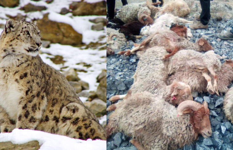 More than 60 cattle killed by snow leopard in Hunza's Shimshal Valley