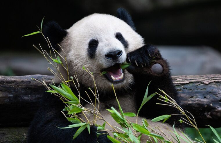 Giant Pandas removed from Endangered species list after half-century