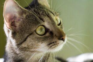 gatto soriano primo piano