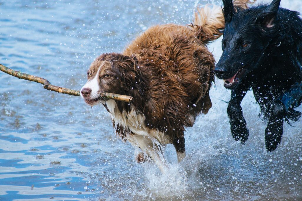 Two ends of the stick exercise - two dogs and one stick