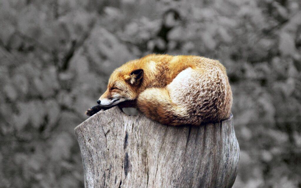 Fox sleeping - why we fell asleep and how we can awaken part 1 of 3