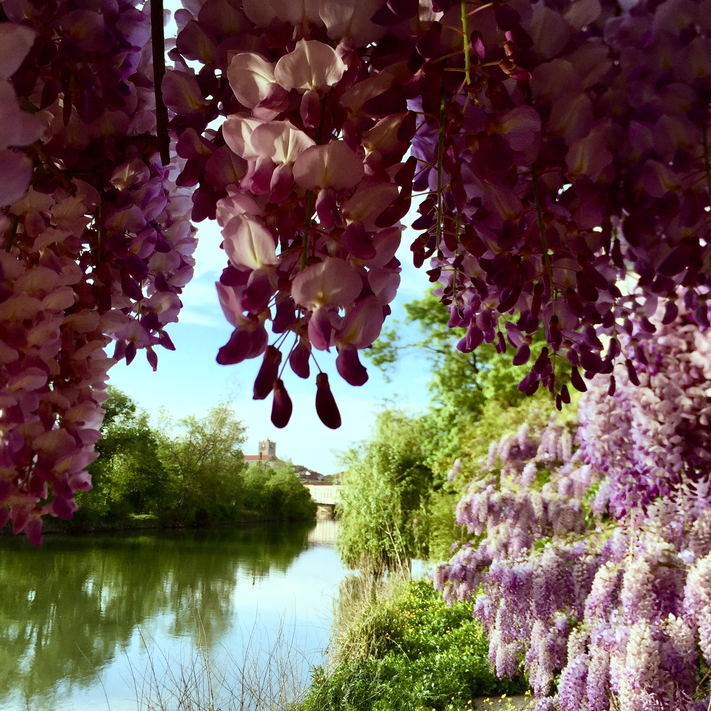 wisteria_view from terrace
